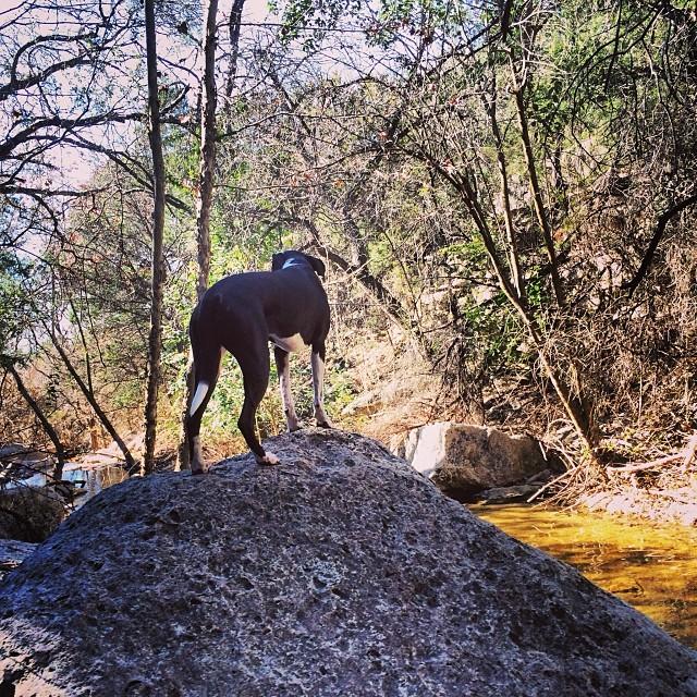 Z surveying the creek #thenakeddog #austin #hiking #boarding #training #atx #dogsofaustin #dogsofinstagram–posted by thenakeddog on Instagram
