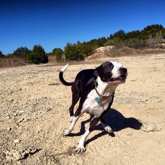 Ziba getting the zoomies #thenakeddog #austin #hiking #boarding #training #atx #dogsofaustin #dogsofinstagram–posted by thenakeddog on Instagram