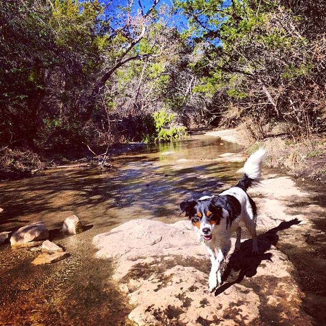 Portrait of an angel #thenakeddog #austin #hiking #boarding #training #atx #dogsofaustin #dogsofinstagram #australianshepherd #aussie–posted by thenakeddog on Instagram