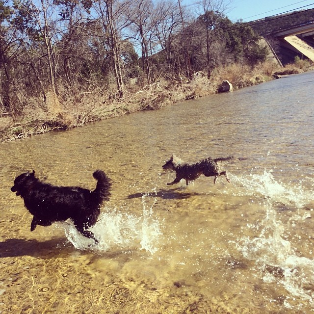 Walking on water #thenakeddog #austin #hiking #boarding #training #atx #dogsofaustin #dogsofinstagram–posted by thenakeddog on Instagram