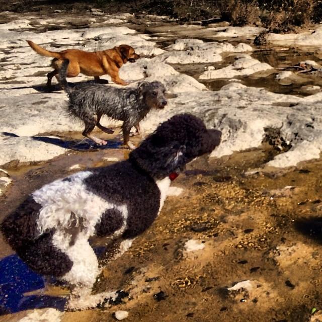 Minette making her move #thenakeddog #austin #hiking #boarding #training #atx #dogsofaustin #dogsofinstagram–posted by thenakeddog on Instagram