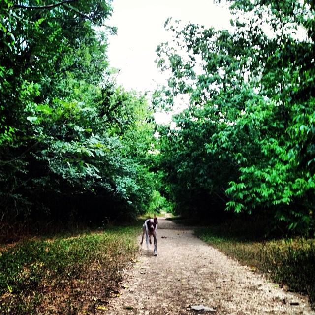 #germanpointerofinstagram #waterdog #birddogoftheday #birddog #gsparo #summer #doglife #dogsofinstagram #instadog #austintrails –posted by gsparo on Instagram