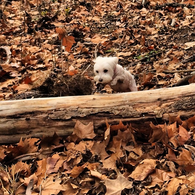 Daisy leaps a log #thenakeddog #austin #hiking #boarding #training #atx #dogsofaustin #dogsofinstagram–posted by thenakeddog on Instagram