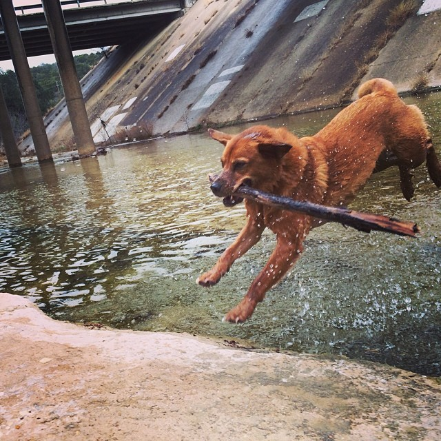 Lucy catching some air, and a stick #thenakeddog #austin #hiking #boarding #training #atx #dogsofaustin #dogsofinstagram–posted by thenakeddog on Instagram