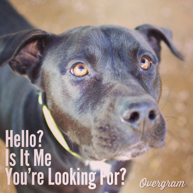 William is hoping you like #dogs to be dark and #handsome because this #TLAC (1156 Cesar Chavez in #ATX) resident fits the bill! #Overgram #instagood #photooftheday #songlyrics #lionelrichie #instadaily #instagramhub #atxmutts #austinanimalcenter #black dogs #mutts #bestoftheday #igdaily #jj #instagramers #blacklabs #labs–posted by hardluckhoundsaustin on Instagram