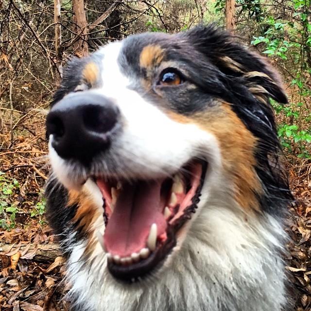Cassie glamor shot #thenakeddog #austin #hiking #boarding #training #atx #dogsofaustin #dogsofinstagram #aussie #australianshepherd–posted by thenakeddog on Instagram