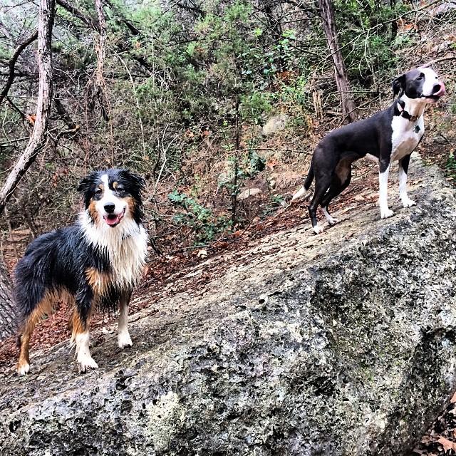 On a rock #thenakeddog #austin #hiking #boarding #training #atx #dogsofaustin #dogsofinstagram–posted by thenakeddog on Instagram