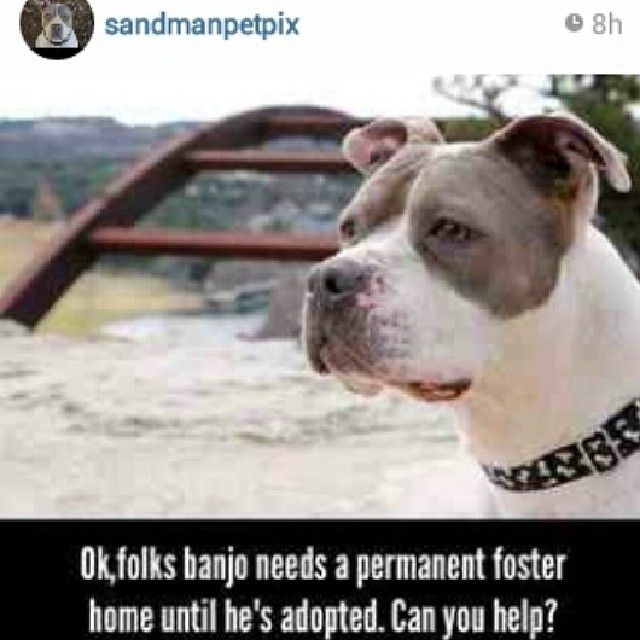 Handsome Banjo needs a foster home ASAP. LCan you help? Please contact @sandmanpetpix or @vonstreichergoods #austinanimalcenter #atx #americanbulldogs #bullylove #fosters #AAC #dogsinaustin #dogsintheatx #pleasehelp #needsafoster #timeisrunningout–posted by luv_for_pitbulls on Instagram