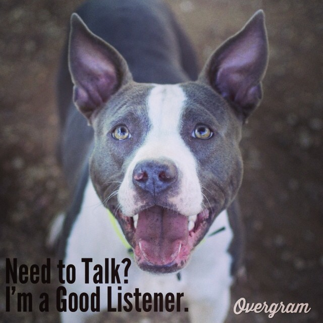 Destiny and her large, lovely #ears have kenneled well with other #dogs, and would love to join you in a warm house! 🏡🍵 #austinanimalcenter #bigears #adoptthisdog #pitmix #mutts #atxmutts #staffies #pitsofig–posted by hardluckhoundsaustin on Instagram