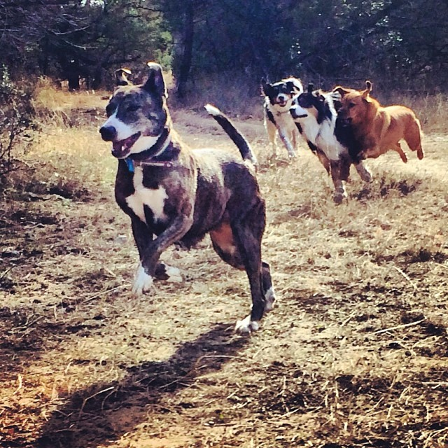 Charlie is the main event, but the side show is Lucy flying through the air next to Cassie #thenakeddog #austin #hiking #boarding #training #atx #dogsofaustin #dogsofinstagram–posted by thenakeddog on Instagram