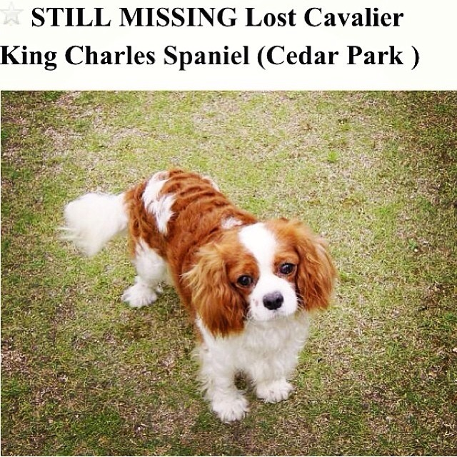 This sweetheart is missing in Austin Texas! 💔 Please share and get the word out! @austinpetsalive @austinpaws @suzie_thedog We need to find him!–posted by bentleythecav on Instagram