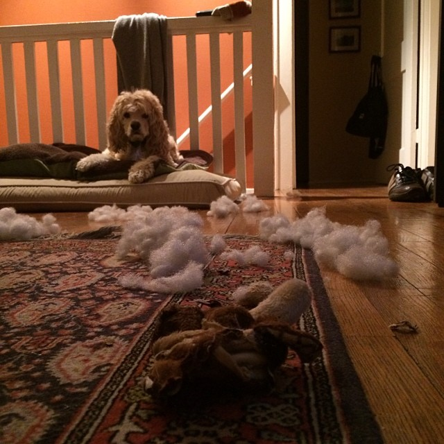 Someone loved his new stuffed toy #cockerspaniel #dogsofinstagram–posted by sac1979 on Instagram