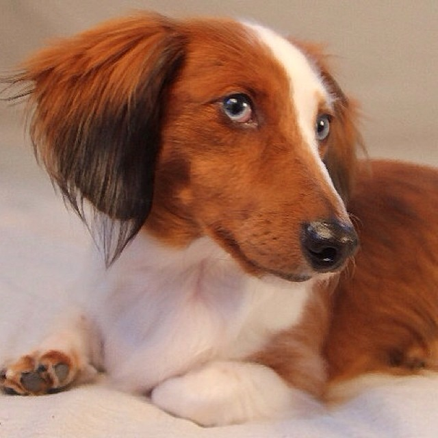 Handsome therapy dog Buzz is a double dapple long haired dachshund. He was adopted from the Central Texas Dachshund Rescue. He is also deaf and his partner speaks to him using sign language.–posted by austindogalliance on Instagram