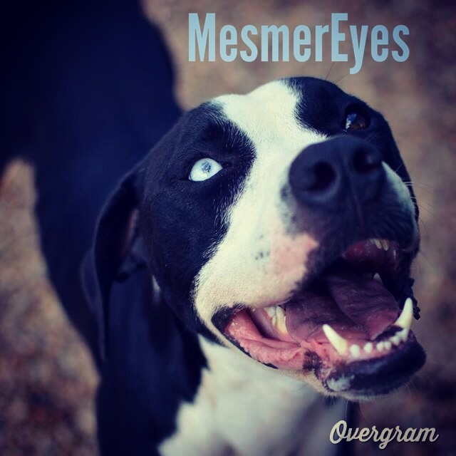 These #beautifuleyes belong to Baby Girl who is becoming increasingly miserable in the stressful shelter environment - she would REALLY appreciate being fostered (or adopted, of course!) in a quiet, calm home ASAP. 👼 #Overgram #instagood #tlac #atx #picoftheday #mesmereyes #blueeyes #mutts #instahub #iphonography #iphoneonly #bestoftheday #pitties #jj #dogs #shoutout #staffies–posted by hardluckhoundsaustin on Instagram