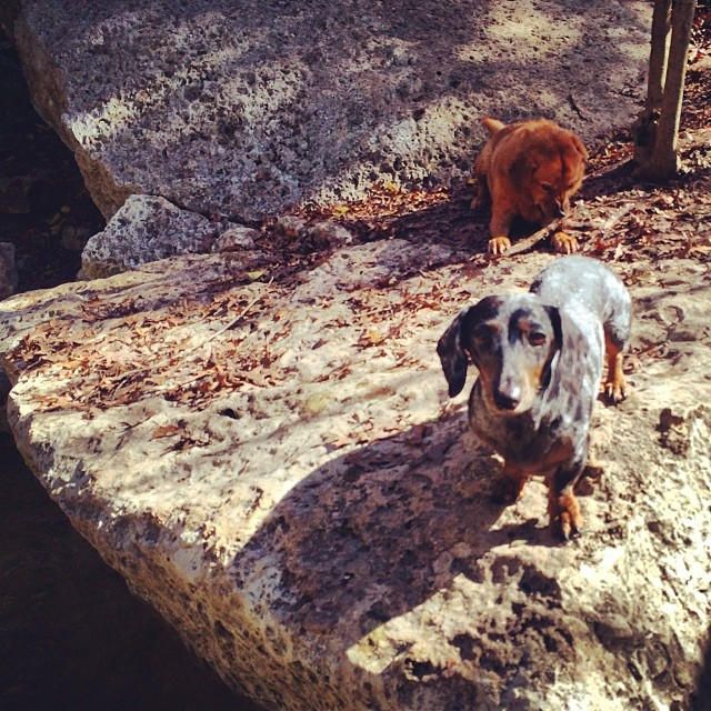 Harley keeping an eye on things #thenakeddog #austin #hiking #boarding #training #atx #dogsofaustin #dogsofinstagram–posted by thenakeddog on Instagram