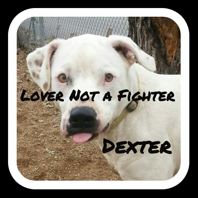 Could it be Dexter is showing us how he feels about shelter life?    Town Lake Animal Center  1156 W. Cesar Chavez  Austin, TX  #findmeahome #imalovernotafighter #lovernotafighter #imanutinmykennel #greatonleash #tendernugget #nugget #mustlovebullies #spreadtherumer #luvabull_furever #lovepitbullsallday #teamfloppyearsnation #flopdontcrop #upforadoption #spayandneuter #bslsucks #tender #love #savealife #saveashelterdog #atx #dogsintheatx #dogsofinstagram #muttsofinstagram #dogs #rasberries #abpt–posted by luv_for_pitbulls on Instagram