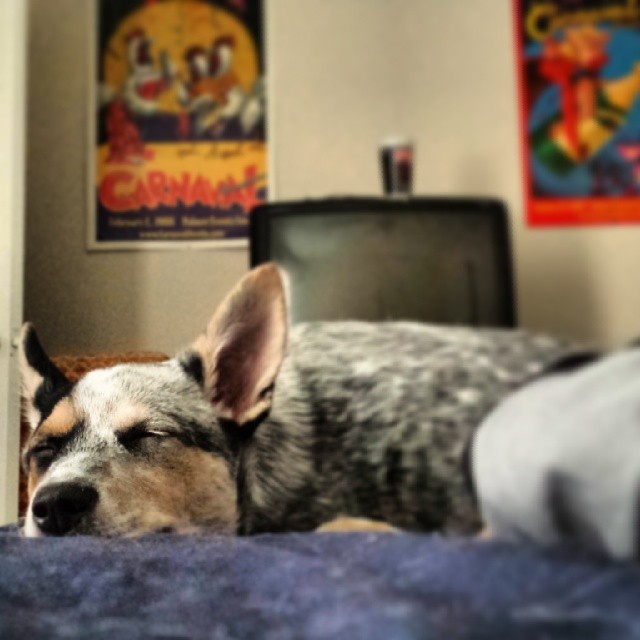 Growing so fast makes a girl sleepy ya know. #blueheeler #dailypuppy–posted by explodingsnowhorse on Instagram