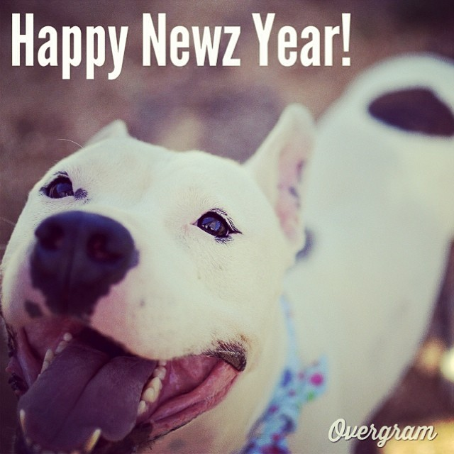Capone hopes #2014 brings lots of happy forever homes for #shelterdogs. Meet this mannerly man at TLAC (1156 Cesar Chavez in #ATX) today! 🎉🎊 #Overgram #instagood #photooftheday #igers #happynewyear #instadaily #instagramhub #mutts #staffies #adoptme #dogs #austinanimalcenter #bestoftheday #igdaily #instagramers #rescuedogs #atx–posted by hardluckhoundsaustin on Instagram