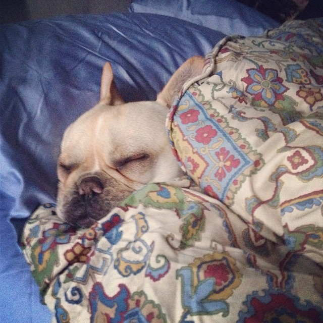 Dreaming of mommy coming back home…💕 #buhi #instafrenchie #dogslife #frenchies #frenchbullies #austin –posted by handsomethepup on Instagram