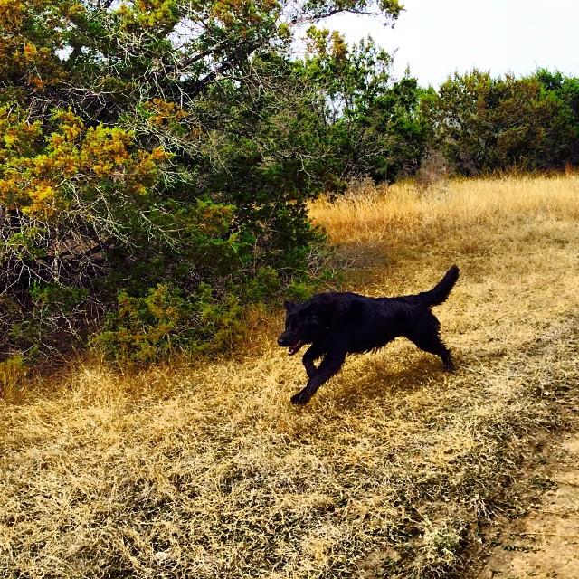 Audrey in full stride #thenakeddog #austin #hiking #boarding #training #atx #dogsofaustin #dogsofinstagram–posted by thenakeddog on Instagram