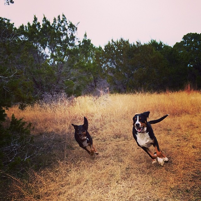 Around the corner, it's neck and neck coming into the final stretch #thenakeddog #austin #hiking #boarding #training #atx #dogsofaustin #dogsofinstagram–posted by thenakeddog on Instagram