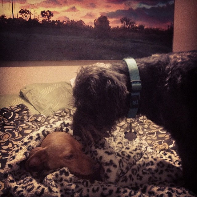 There is so much cute happening in my house right now 😳 #walter #chester #puppylove #goodnight #kisses –posted by paintingtosurvive on Instagram