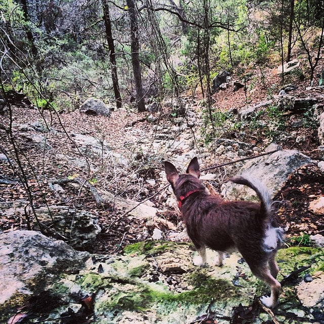 Bell, queen of the trail #thenakeddog #austin #hiking #boarding #training #atx #dogsofaustin #dogsofinstagram–posted by thenakeddog on Instagram