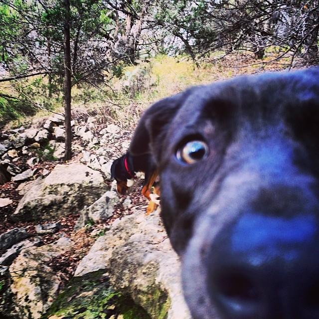 Sylvie #thenakeddog #austin #hiking #boarding #training #atx #dogsofaustin #dogsofinstagram–posted by thenakeddog on Instagram