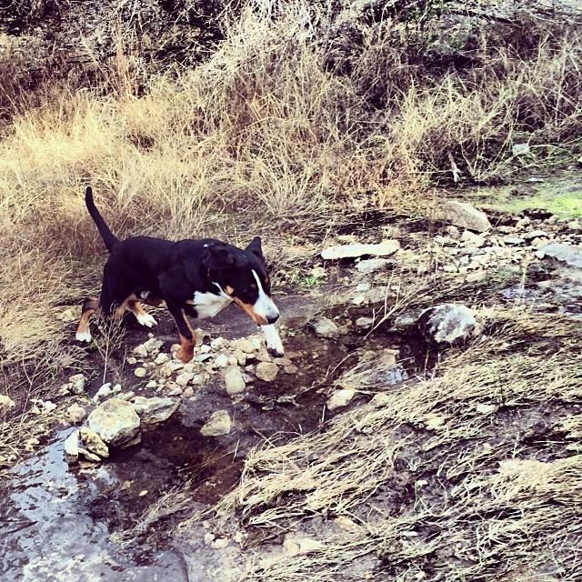 Rowdy taking a leap #thenakeddog #austin #hiking #boarding #training #atx #dogsofaustin #dogsofinstagram–posted by thenakeddog on Instagram
