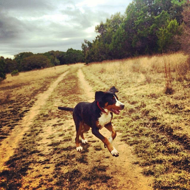 Rowdy getting rowdy #thenakeddog #austin #hiking #boarding #training #atx #dogsofaustin #dogsofinstagram–posted by thenakeddog on Instagram
