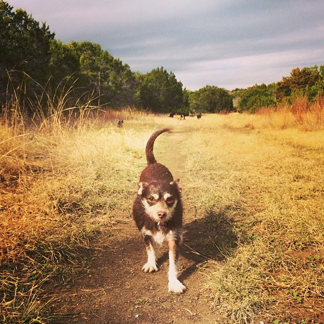 Bell owning the trails #thenakeddog #austin #hiking #boarding #training #atx #dogsofaustin #dogsofinstagram–posted by thenakeddog on Instagram
