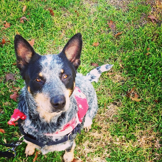 Dakota enjoyed her crisp #Christmas walk around #LadyBirdLake🎄 She's looking forward to being #PetoftheWeek on @kvuenews Saturday at 8am. Meet this calm, well-trained gal in kennel 26 at TLAC (1156 Cesar Chavez) 🎅 #cattledogs #mutts #dogs #atx –posted by skylinepetcare on Instagram