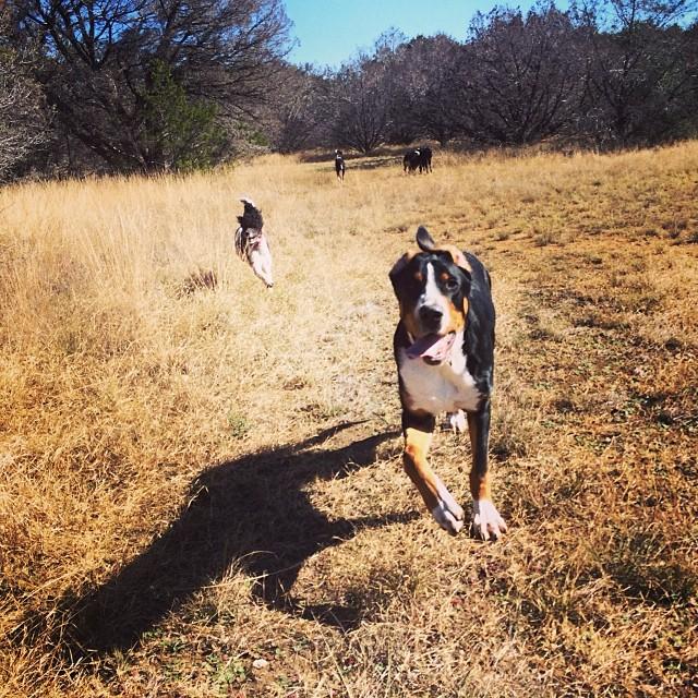 Meet Rowdy, the Swiss Mountain Dog #thenakeddog #austin #hiking #boarding #training #atx #dogsofaustin #dogsofinstagram–posted by thenakeddog on Instagram