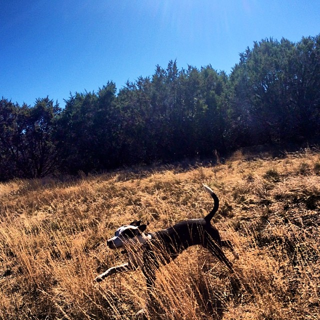 Ziba, in all her glory #thenakeddog #austin #hiking #boarding #training #atx #dogsofaustin #dogsofinstagram–posted by thenakeddog on Instagram