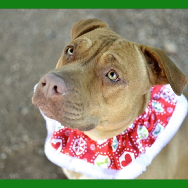The eyes have it! Melody has lived around children, is good in the home, is crate trained, and oh so affectionate. She just needs a #homefortheholidays #bslsucks #upforadoption #endbsl #adoptme #adoptdontshop #luvabull_furever #luv_for_pitbulls #spreadtherumer #mustlovebullies #pitbullinstagram #staffygram #loveastaffy #staffiesofig #flopdontcrop #savealife #saveashelterdog #spayandneuter #rescue #volunteer #donate #atxpibbles #bullylove #fosterme #atxrescues #dogsintheatx #dogsofinstagram #muttsofinstagram #upforadoption Town Lake Animal Center Ausrin, TX Midori Tanaka - Photographer–posted by luv_for_pitbulls on Instagram