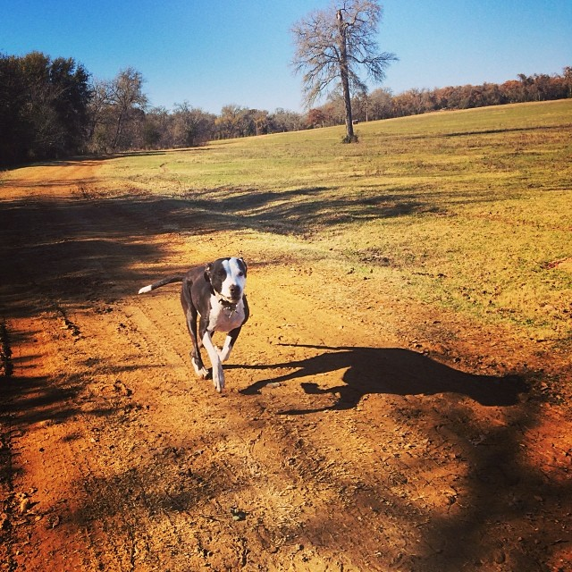 Zz zoomies #thenakeddog #austin #hiking #boarding #training #atx #dogsofaustin #dogsofinstagram–posted by thenakeddog on Instagram