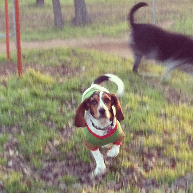 Waffles #bassethound #austintx–posted by karensinaustin on Instagram