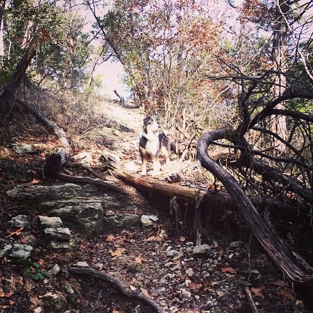 Cassie in the limelight #thenakeddog #austin #hiking #boarding #training #atx #dogsofaustin #dogsofinstagram–posted by thenakeddog on Instagram