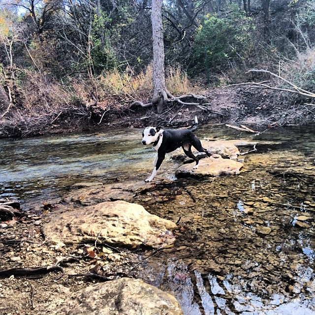 Ziba taking strides towards the shore #thenakeddog #austin #hiking #boarding #training #atx #dogsofaustin #dogsofinstagram–posted by thenakeddog on Instagram
