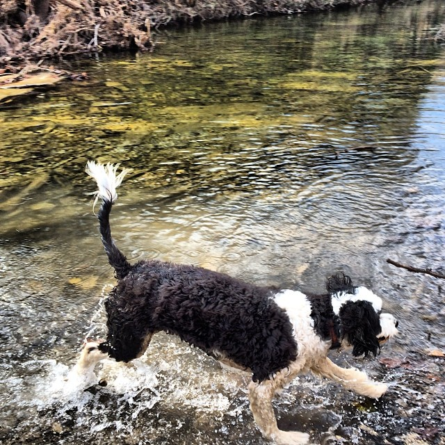Izzy hoping across St Eds creek #thenakeddog #austin #hiking #boarding #training #atx #dogsofaustin #dogsofinstagram–posted by thenakeddog on Instagram