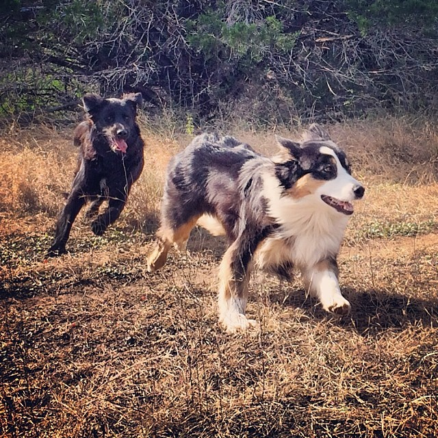 Cas and Audrey playing chase #thenakeddog #austin #hiking #boarding #training #atx #dogsofaustin #dogsofinstagram–posted by thenakeddog on Instagram