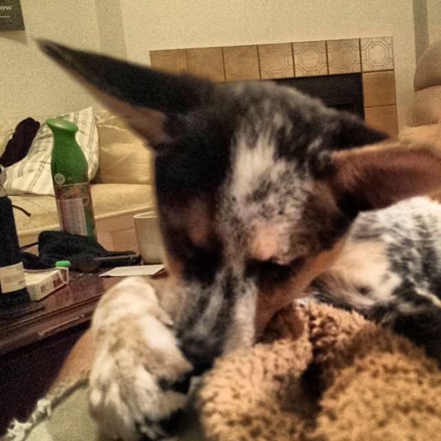 Does ears doe. #dailypuppy #blueheeler–posted by explodingsnowhorse on Instagram