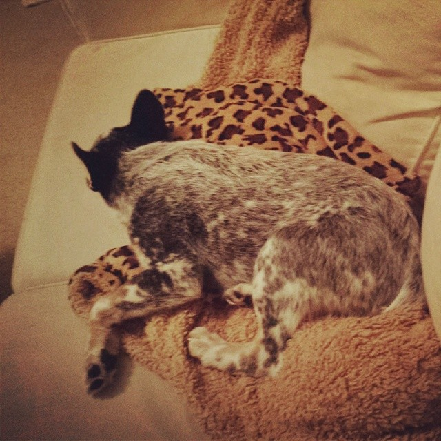 A rare moment of silence and stillness. #dailypuppy #blueheeler–posted by explodingsnowhorse on Instagram