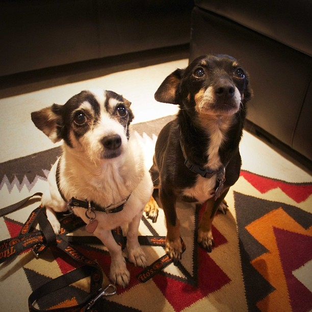 The rescue and adventures of @titosvodka office dogs Dingo and Coyote blogged by their mom @brandy_gram up on VODKAFORDOGPEOPLE.com Go read about these twins!! #dogsofinstagram #rescuedog #twins #officedogs #lovebombs –posted by vodkafordogpeople on Instagram
