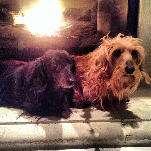 2 sweet dashund getting warm in front of the fireplace #doggiesholidayhome @dogvacay  #dachshund #dogs #dogboarding #doglover #dogsofinstagram #dogaustin #dogvacay #austintx #austindog #Austin–posted by audreydogs on Instagram