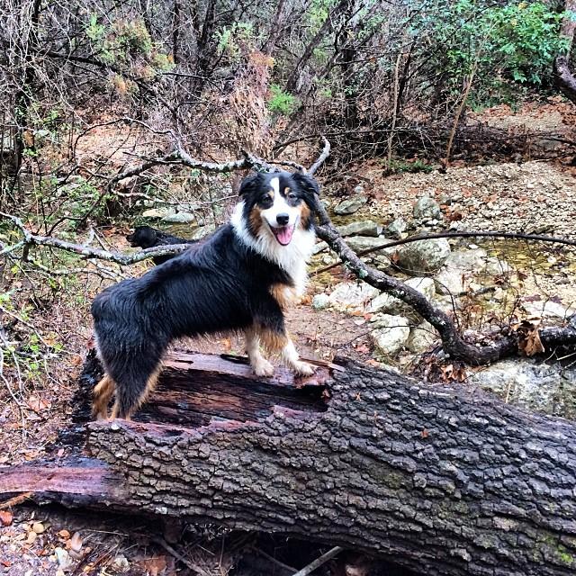 My model, my muse #thenakeddog #austin #hiking #boarding #training #atx #dogsofaustin #dogsofinstagram #aussie–posted by thenakeddog on Instagram