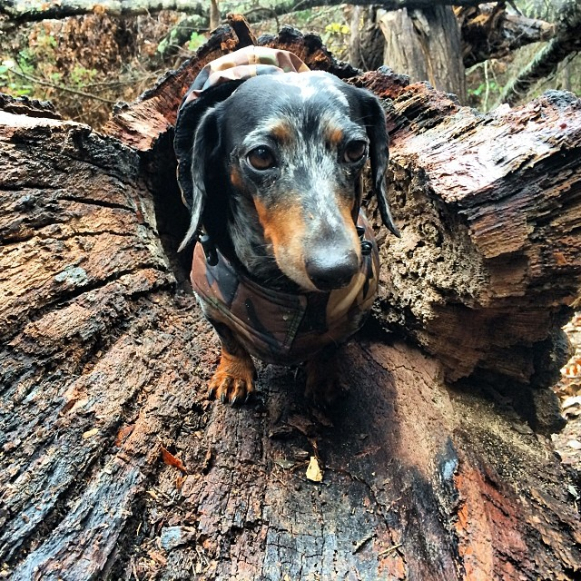 Ninja dachshund hides in a tree #thenakeddog #austin #hiking #boarding #training #atx #dogsofaustin #dogsofinstagram #dachshund–posted by thenakeddog on Instagram