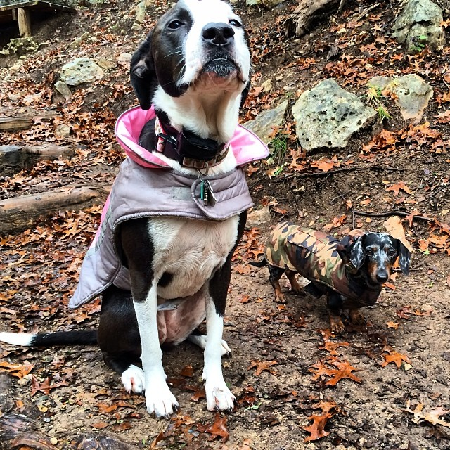 Rocking their winter wear #thenakeddog #austin #hiking #boarding #training #atx #dogsofaustin #dogsofinstagram #dachshund #pitbull–posted by thenakeddog on Instagram