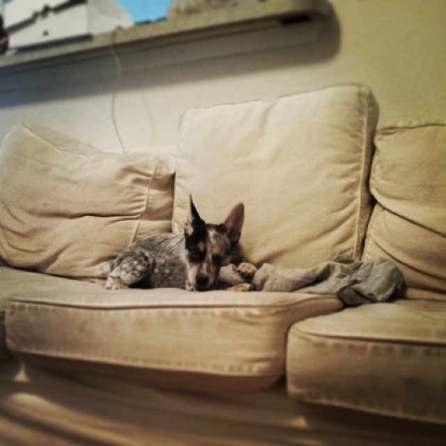 Guess who's finally big enough to get up on the couch all by herself now #dailypuppy #blueheeler–posted by explodingsnowhorse on Instagram