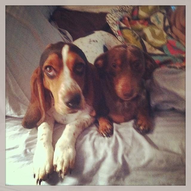 Best friends #Waffles & #Reesie #bassethound #dachshund #snugglebuds #longdogs–posted by karensinaustin on Instagram